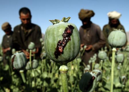 Coltivazione di oppio in Afghanistan