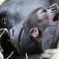 Piccolo e madre Gorilla