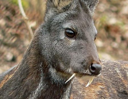 Cervo muschiato