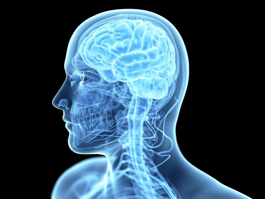 Illustrazione anatomica del cervello