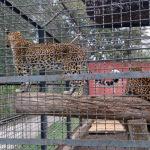 Leopardi in gabbia