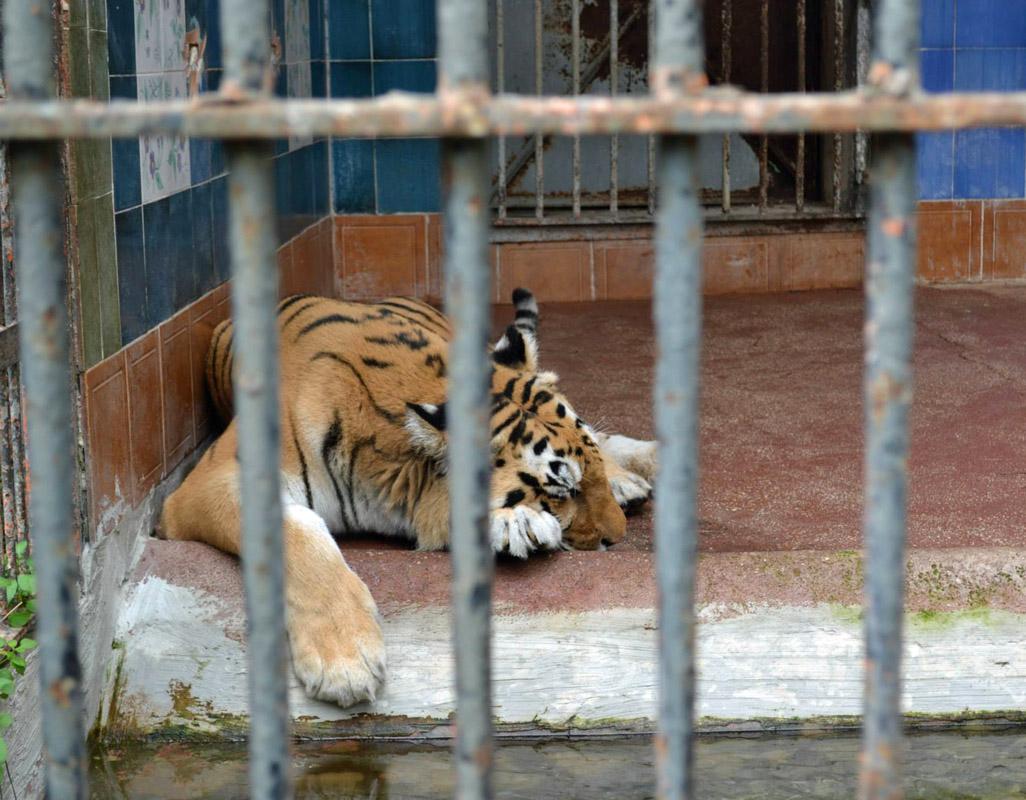 Tigre in gabbia