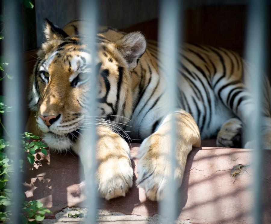 Tigre depressa dietro le sbarre.