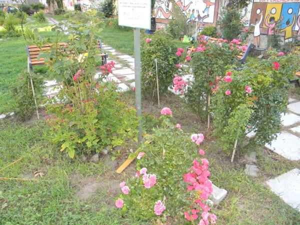 Cespugli di rose